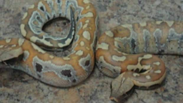 Snake kills 2 N B  boys after escaping store, RCMP say | CBC