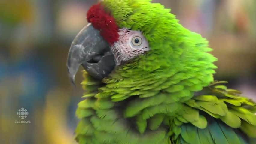 Exotic birds find temporary home in Edmonton pet store - CBC