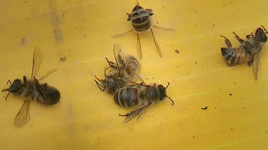 Honeybees at risk