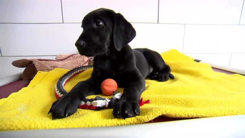 Wanted: 'Puppy walkers' for future guide dogs