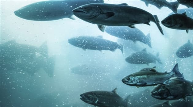 Farmed Atlantic Salmon Make Seafood Watchs Avoid List
