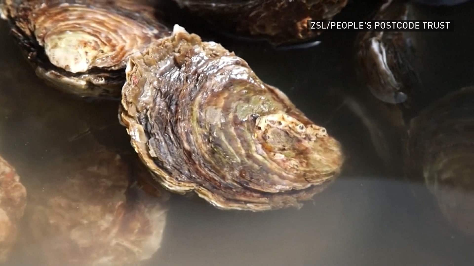 U.K. conservationists striving to restore local oyster population