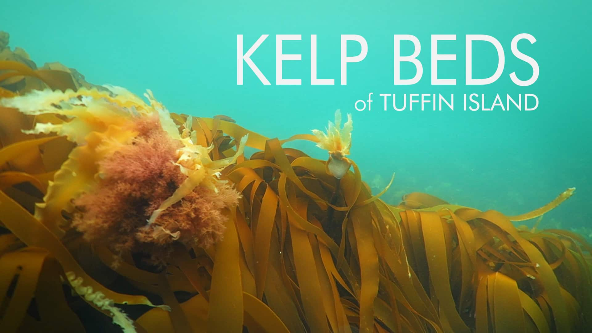 Kelp beds of Tuffin Island