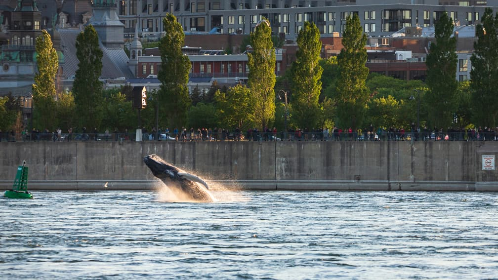How will Montreal's Old Port whale get home?
