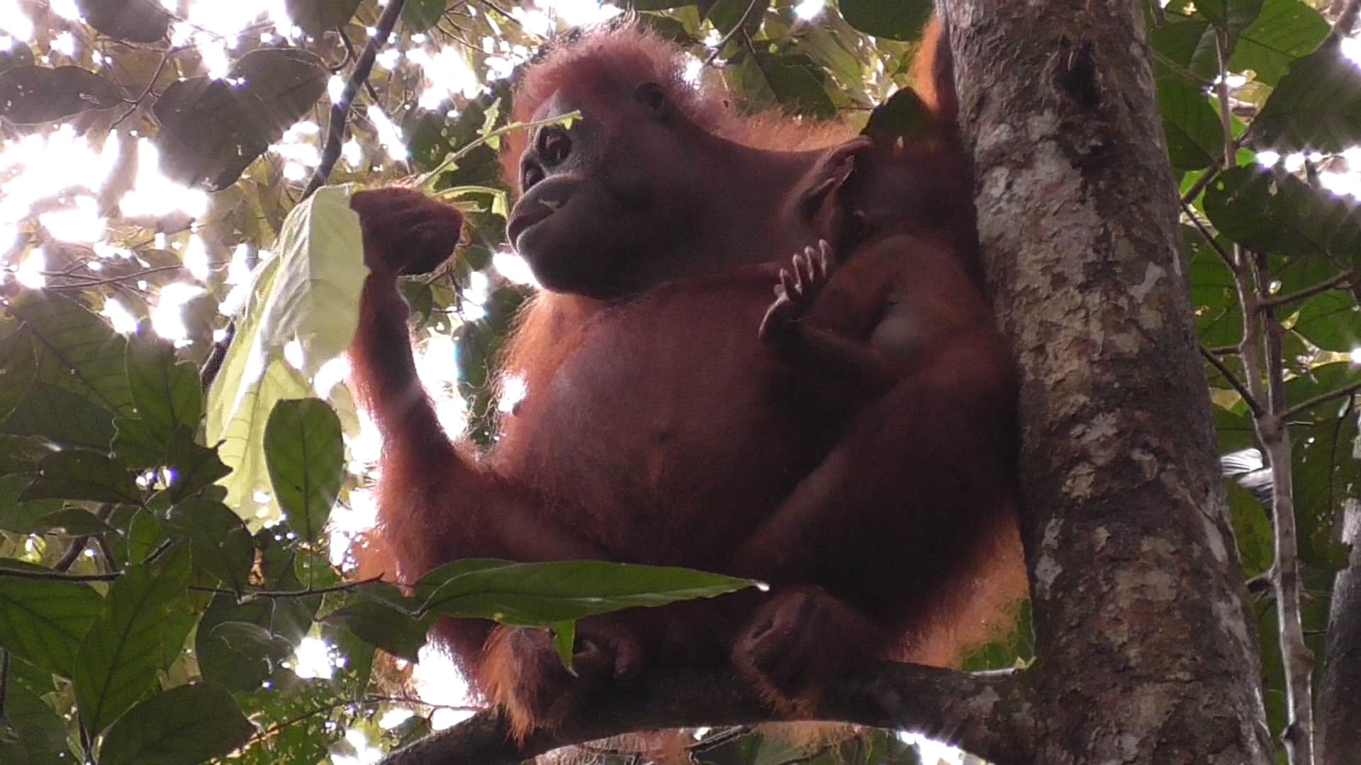 an overview of the endangered orangutan species essay Orangutans are one of the world's four great apes, which are our closest relatives the orangutan is also a unique species in other areas where it is diverting from other great apes (chimpanzee the orangutan is losing its home at an alarming rate, and is now considered critically endangered by the.