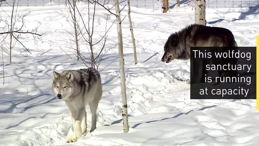 Wolfdog sanctuary at capacity