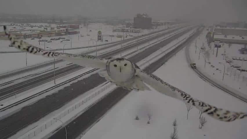 Snow_Owl_Slo_Mo_2500kbps_852x480_2681541