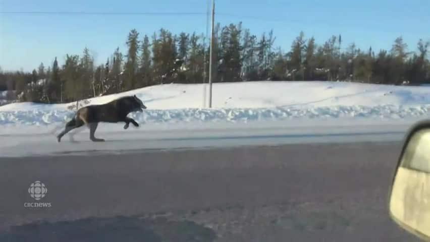 Image result for Rhonda Miller wolves video
